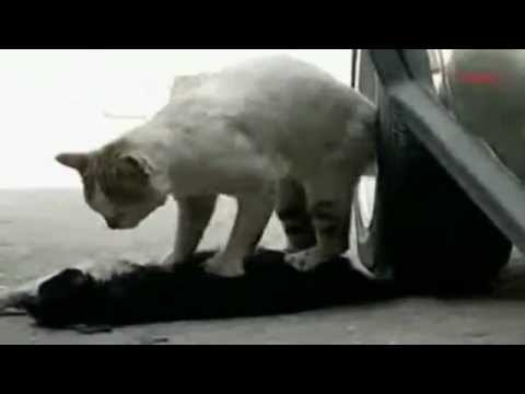 Cat tries to revive his dying  girlfriend
