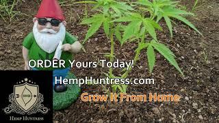 Hemp Huntress -  Overwatered in the Greenhouse