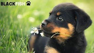 I dolcissimi cuccioli di ROTTWEILER