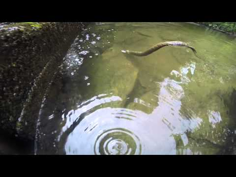 Snapping Turtle vs. Water Snake