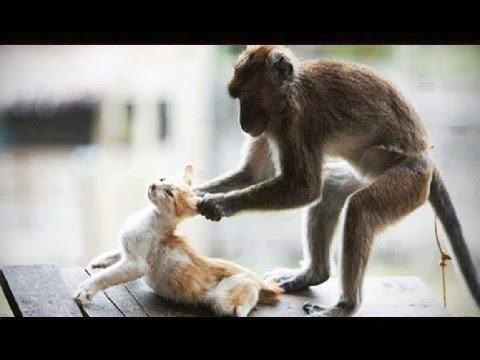 Funny Monkey and Cat Fight - Can't Stop Laughing - Funny Fight Animals
