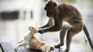 Funny Monkey and Cat Fight  Can39;t Stop Laughing  Funny Fight Animals