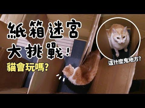 【黃阿瑪的後宮生活】紙箱迷宮大挑戰!貓會玩嗎?