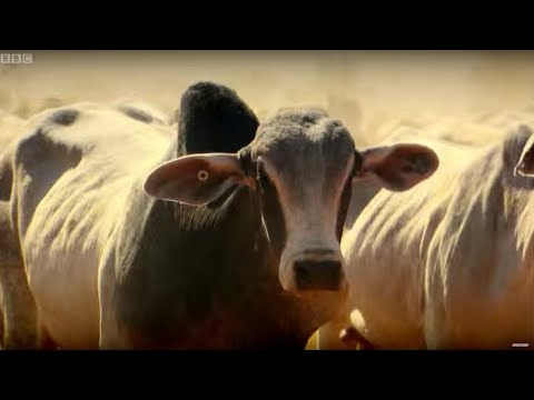 Top Gear Vs 4,000 Cows  - Top Gear - Series 22 - BBC