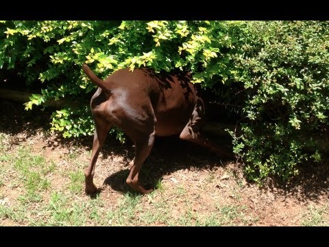 German Shorthaired Pointer Dog Searching Bushes