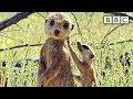 Spy meerkat helps babysit - Spy in the Wild: Episode 3 Preview - BBC One