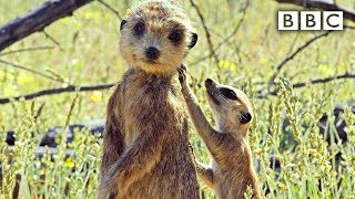 Repeat youtube video Spy meerkat helps babysit - Spy in the Wild: Episode 3 Preview - BBC One