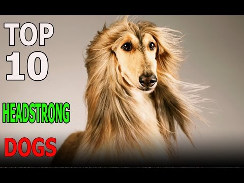 Top 10 HEADSTRONG dog breeds | Top 10 animals