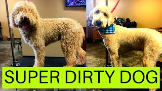 REALLY DIRTY GOLDENDOODLE
