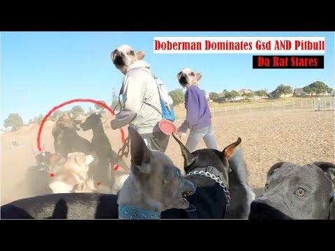 Muzzled Doberman Vs. German Shepherd Dominance, Aggressive Chihuahua