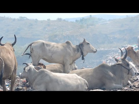 Rescuers won't give up on cow strangling at garbage dump