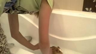 Уход за морскими свинками. Ванна(, 2015-07-30T06:23:02.000Z)