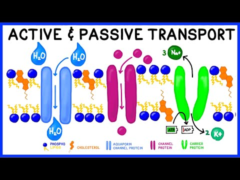 Active vs. Passive Transport: Compare and Contrast