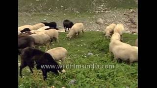 Flock of sheep in a Himachal meadow with Nepeta flowers in Spiti