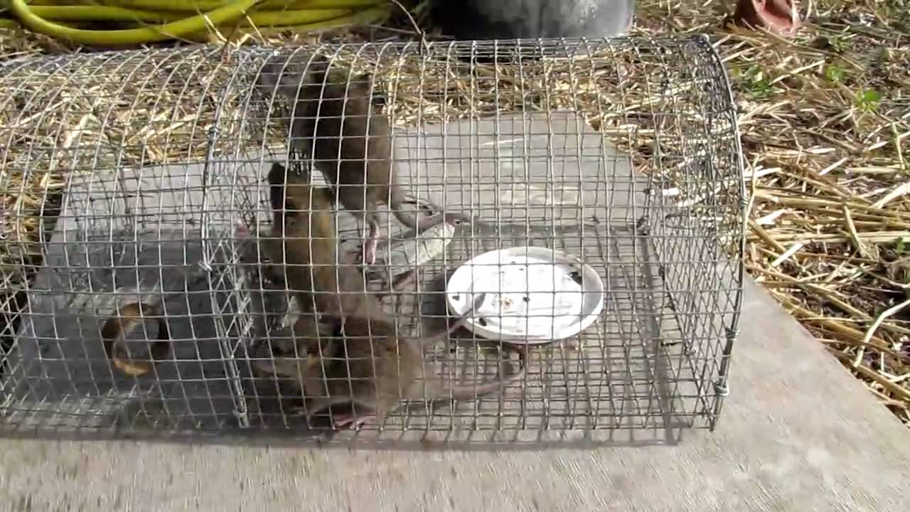 Piege A Rat Brico Depot Gamboahinestrosa