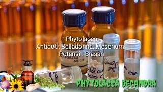 Phytolacca Decandra   Materia Medica