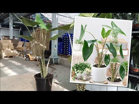 Video: BALDUR-Garten | Alocasia 'Zebrina'