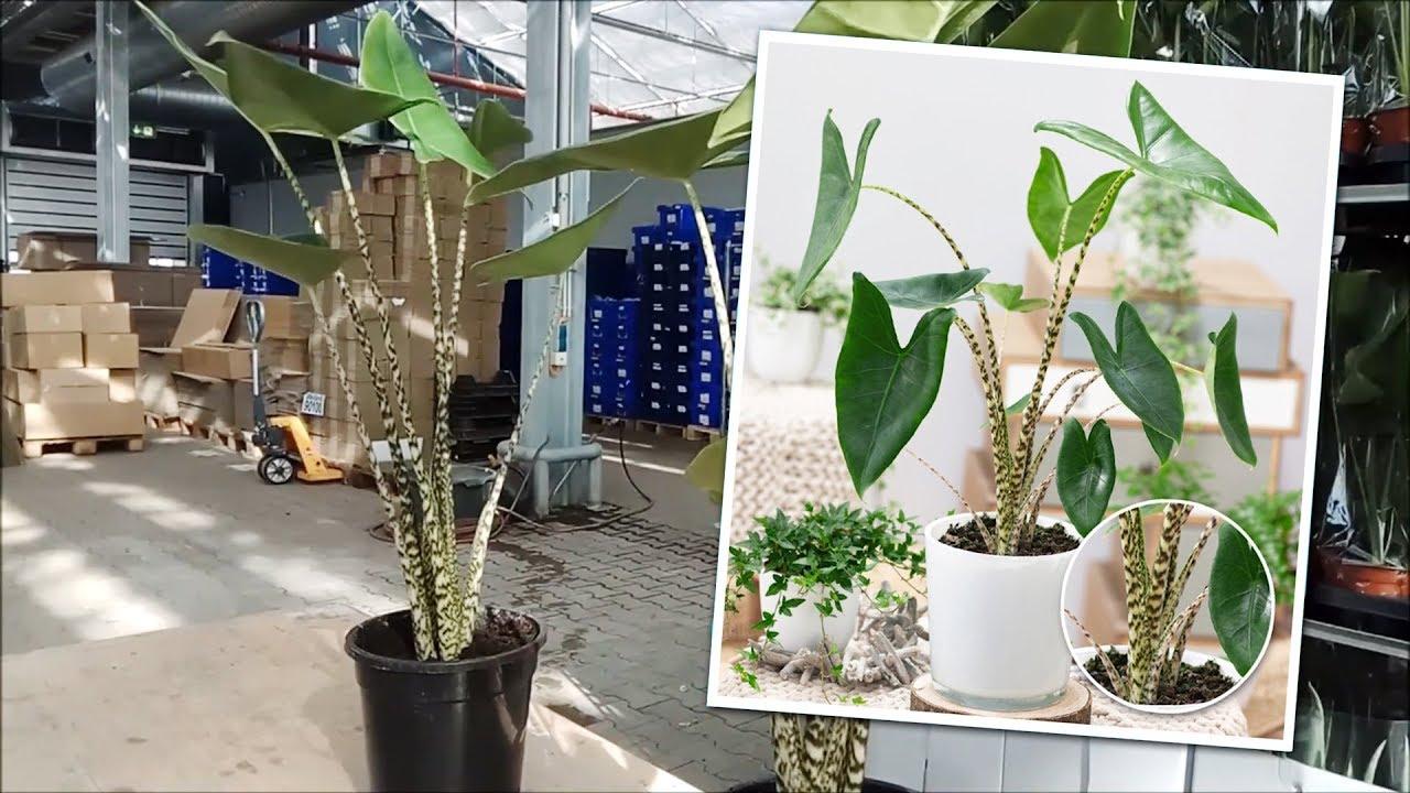 BALDUR Garten   Alocasia &39;Zebrina&39;   YouTube