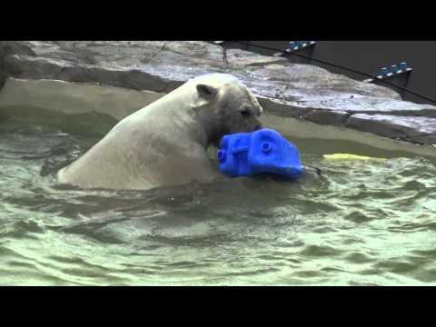 Denali the polar bear enjoys playing in the water, at Sapporo Maruyama Zoo, Japan