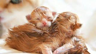 🍼 Three Newborn British Shorthair Kittens 😻
