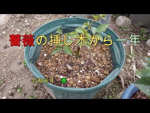 バラの挿し木 公開から半年 開花 育ち実証 宍粟市ケンちゃん