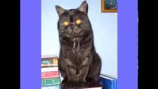 Трансфер Фактор для породистых кошек