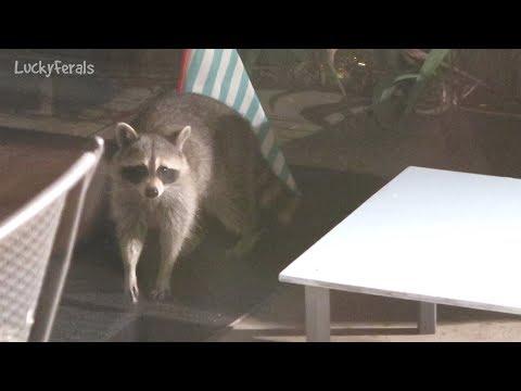 raccoon-testing-the-raccoon-proof-feral-cat-feeder-hydrox-watching