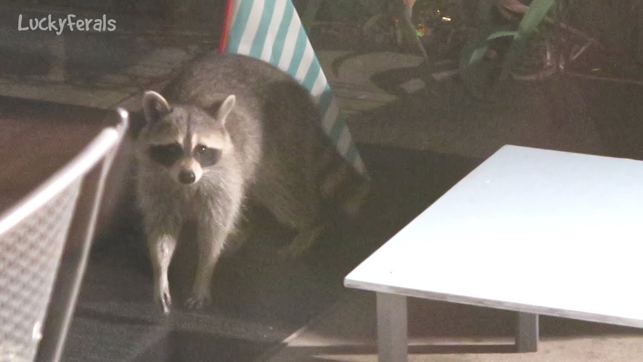 Raccoon Testing The Raccoon Proof Feral Cat Feeder Hydrox