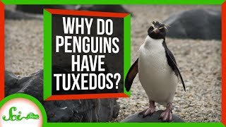 countershading-why-do-penguins-wear-tuxedos