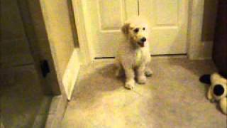 rhett the goldendoodle dog potty questions.wmv