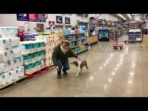 Dog Training: Mini Aussie Shepherd/Blue Heeler mix- Dani Before/After Training