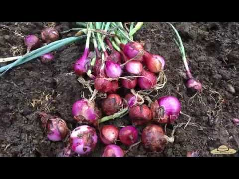 v40: Paano itanim ang Sibuyas/How to grow Onions(bulb) at back yard. Easy Guide!