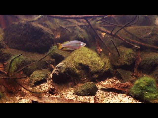 Eastern Rainbowfish  Boggy Creek Queensland Biotope Aquarium.