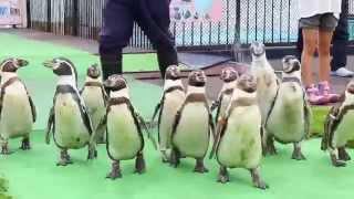 室蘭市立室蘭水族館のペンギンの行進の様子です。▽記事はこちら http://...