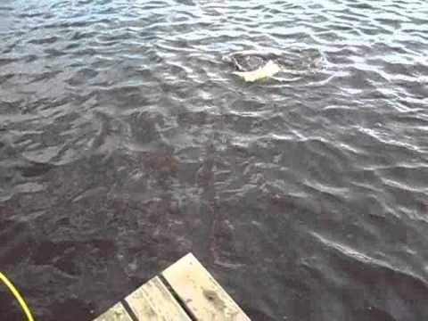 Sibiriens Fiske, Fly fishing