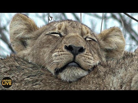 safariLIVE- Sunset Safari - November 12, 2019