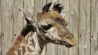 円山動物園のマサイキリン、ナナコ(メス/6歳)が2011年6月16日(木)未明に...