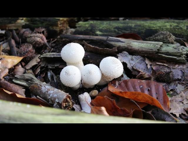 1 minuut natuur Parelstuifzwam - common puffball - vesse-de-loup perlée - Flaschen-Stäubling