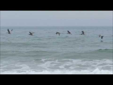 Brown Pelican Moments for a Friend