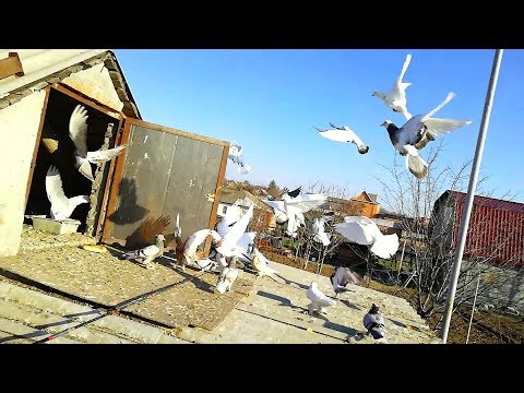 скрестили две породы голубей( бойная порода)