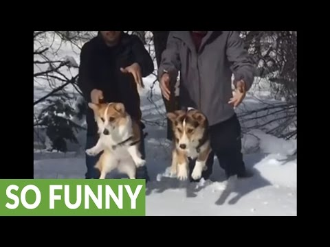 Slow motion Corgi drop into deep snow