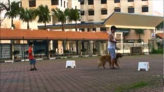 Dog Training Singapore - Youngest Calling Steward