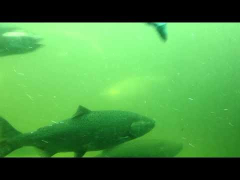 Salmon at the Fish Ladder at the Chittenden Locks in Seattle