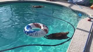 【癒やし】タヌキの泳ぎ方が想像以上にかわいい!