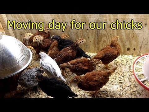 Moving our chicks to their new coop (Hen House)