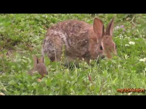 Little Bunny and his Mom in my Garden ~ Cute Cottontail rabbit family :)
