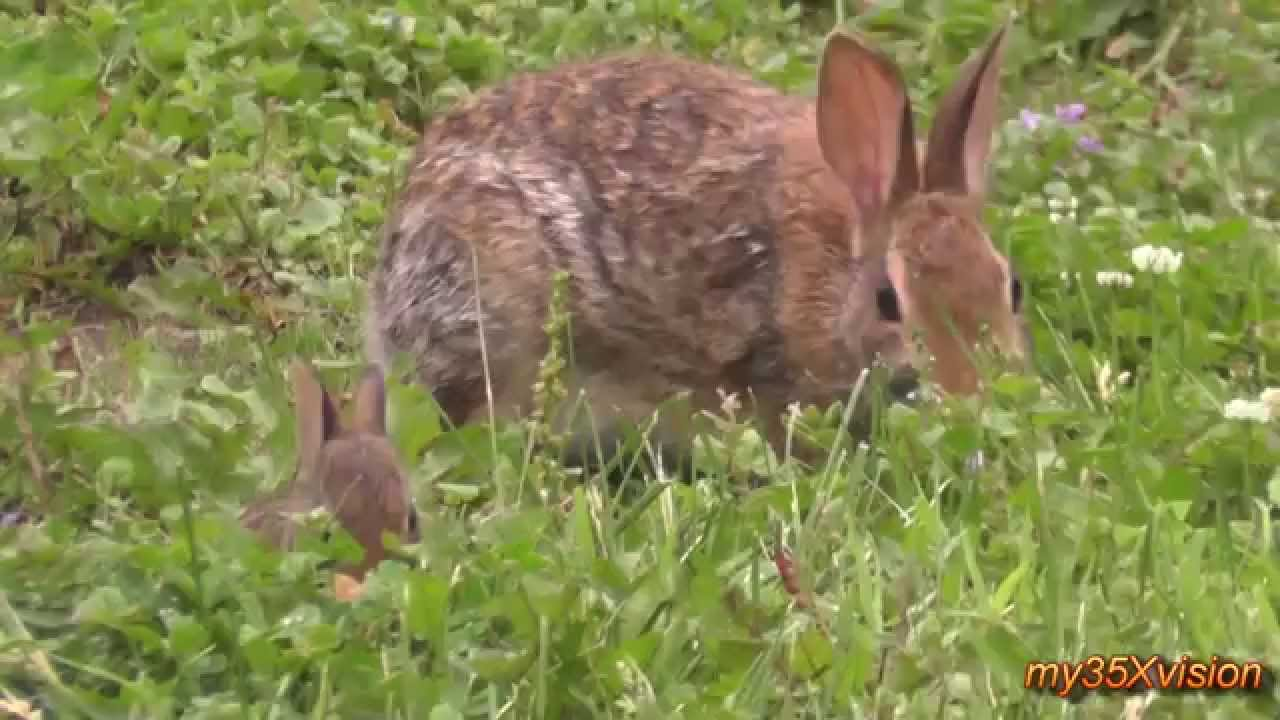 Little Bunny And His Mom In My Garden Cute Cottontail