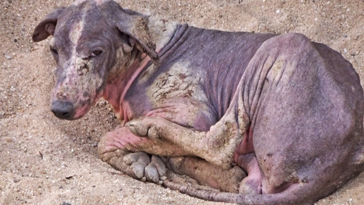 Download Rescue and healing of dog curled up in a shell of pain.