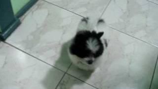 Toy Pomeranian X Maltese.  Panda Bear :)