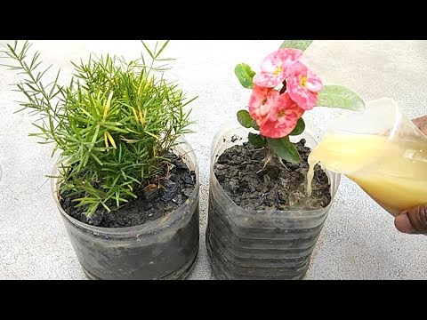 How to use liquid organic fertilizer for any plants | Mustard cake fertilizer